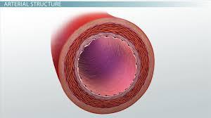 Sheep Heart Anatomy Quiz Double Circulation Definition U0026 Advantage Video U0026 Lesson