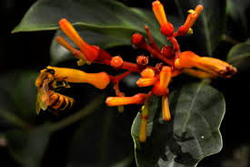 native florida plants low maintenance firebush hamelia patens var glabra bloomin u0027 crazy