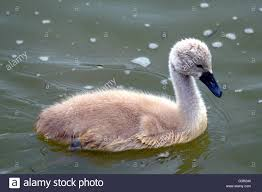 a young whooper swan cygnet an ugly duckling stock photo royalty