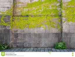 climbing plants on old wall outdoor background stock photo image