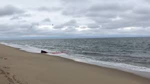 video captured on cape cod offers insight into great white shark