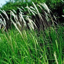 australian native medicinal plants australian seed imperata cylindrica