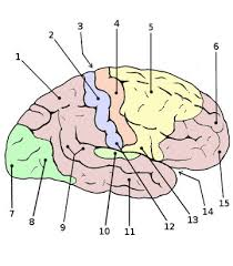 Anatomy And Physiology Muscle Labeling Exercises Free Anatomy Quiz Anatomy Of The Brain Quiz 2 The Cerebral Cortex