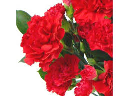 Red Carnations Festive Red Carnations Fresh Flowers Free Uk Delivery
