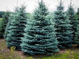 blue spruce trees buy baby blue spruce for sale the tree center