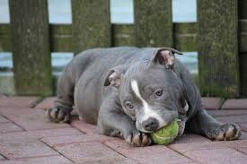 american pitbull terrier 5 months old american bully health caring for your puppies american bully world