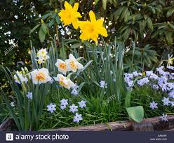 daffodils and spring flowers in a garden nsw australia stock