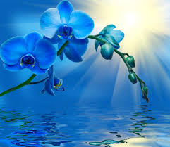 blue orchids blue orchids wallpaper wallpaper