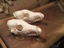 taxidermy skull ebay