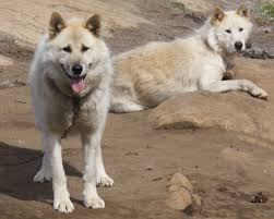 american eskimo dog cost in india domestic breeds with known or suspected wild ancestry topics on