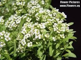alyssum flowers 1000 white sweet alyssum carpet of snow flower seeds