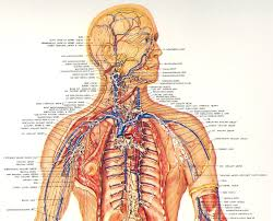 Human Anatomy Upper Body Electro Lymphatic Upper Body