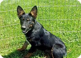 australian shepherd tan rebel adopted puppy liberty center oh german pinscher