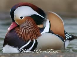 mandarin ducks for sale 125 per pair