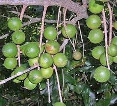 Best Fruit Trees For North Carolina - unusual and exotic fruit and nut plant seeds from around the world