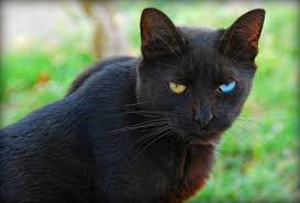 halloween black cat cute hd free wallpaper odd eyed black cat