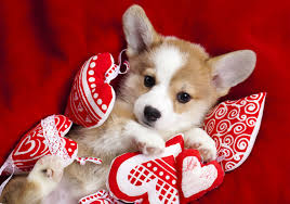 what to get your for valentines day puppy what to get your dog for s day american