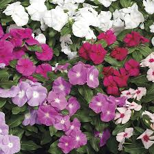 vinca flower cora mix vinca flower seeds