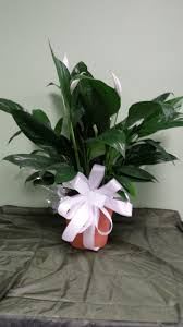 Peace Lily Plant Peace Lily Plant In Berryville Ar Nita Faye Flowers And Gifts