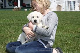 white lab puppy sale loyal labradors english white lab puppies