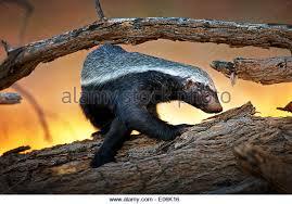Seeking Honey Honey Badger Mellivora Capensis Stock Photos Honey Badger