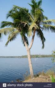 amazing variety very rare and exclusive scene of a coconut tree