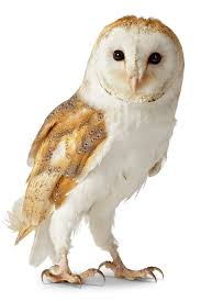 Where Do Barn Owls Live Owl Facts For Kids Information About Owls Dk Find Out