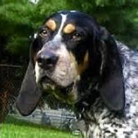 bluetick coonhound beagle blue tick hound pictures yahoo image search results beauty