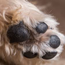 boxer dog feet everything you need to know about dog paws