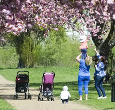 Cherry Blossom Tree Facts by Uk Weather Causes Cherry Blossoms To Bloom Across The Country