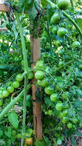 gardening tips caring for tomato plants new house new home