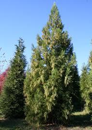 native screening plants fast growing trees we love yoshino cryptomeria shade tree farm