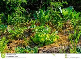Mulching Vegetable Garden by Dense Organic Vegetable Garden Pumpkin Stock Photo Image 41328369