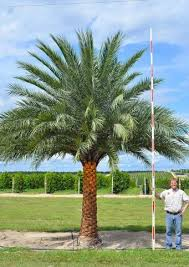sylvester date palm tree sylvester palm cherrylake