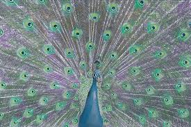 beautiful creatures grayscale coloring book peacock