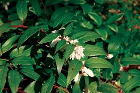 Fragrant Plants For Shade - sunless success 15 great easy to grow shrubs for shade state