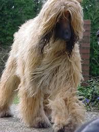 afghan hound grooming styles 5 dog breeds i would not own afghan hound dog breeds and dog