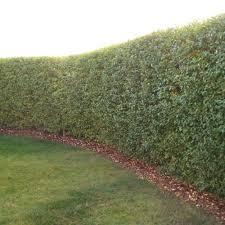 create your own backyard bird sanctuary hedge edition