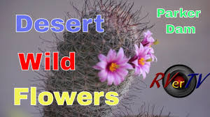 wild desert flowers colorful cactus blooms parker dam