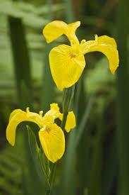 Iris Flag 7 Irises For The Flower Garden
