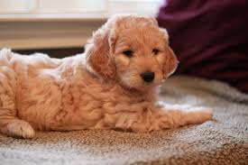 goldendoodle puppy treats goldendoodle breeder ny goldendoodle puppies ny doodles by