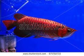 asian arowana freshwater fish distributed across stock photo