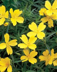 Heat Resistant Plants Lemon Drop Is Very Heat Tolerant And The Petite Yellow Blooms