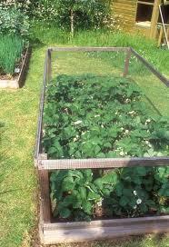 16 best growing strawberries images on pinterest gardening