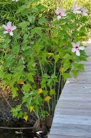 sc native plants using georgia native plants hardy hibiscus and native too