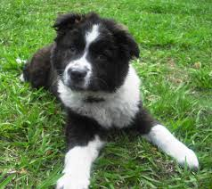 bearded collie and border collie mix bearded collie mix puppies dog and cat