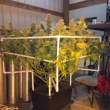 grow guide how to scrog like a pro marijuana