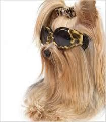 Chewbacca Halloween Costumes 10 Halloween Costumes Yorkshire Terriers Yorkie