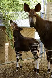 adorable okapi calf thriving at dallas zoo