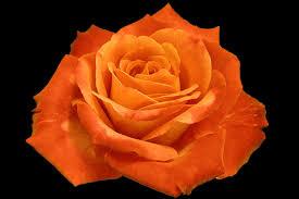 orange roses roses images orange wallpaper and background photos 37338268